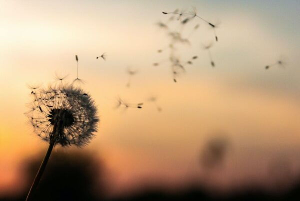 Dandelion blowing in the wind at sunset